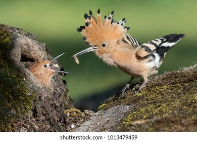 Hoopoe (Upupa epops) aproaching to the nest hole just a few moments before giving its young chick a larva.  Young´s head is outside the nest and the adult has its crest displayed.