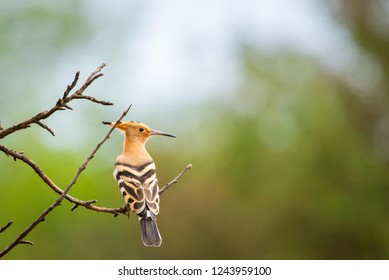 The Hoopoe or Upupa Epops perched on a tree