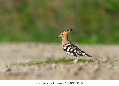 Hoopoe (Upupa epops) , sitting in the sand, bird with orange crest. Animal from Europe. Hoopoe from Slovakia.
