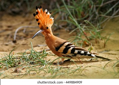 Hoopoe, Upupa epops, sitting in the sand, bird with orange crest, Spain. Animal from Southern Europe. Hoopoe from Gran Canaria Island.
