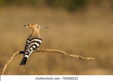 Hoopoe in the wood in Italy