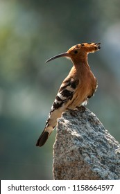 Hoopoes - colorful birds - crown bird