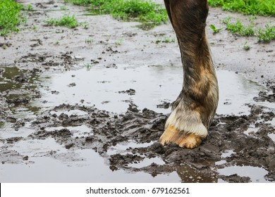 The hooves of a horse in the mud