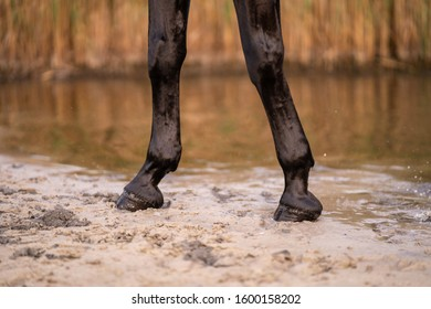 The hooves of a horse strolling along the sandy beach of a small lake. A horse runs on water. Strength and Beauty.