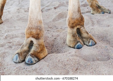 Hooves on the paws of a camel, close-up.