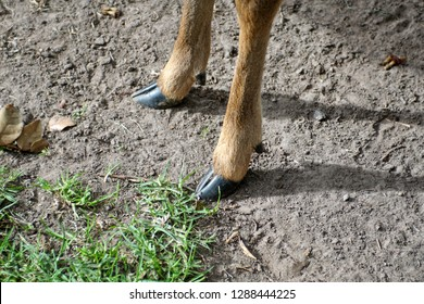Hooves of a white tailed deer at a deer park outside Cotacachi, Ecuador