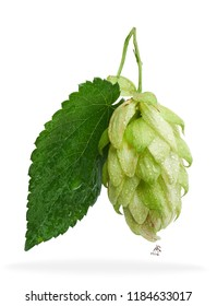 Hop bud with green leaf wet isolated on white background / Beer brewing main ingredient