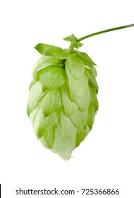 Hop cone isolated on white background closeup