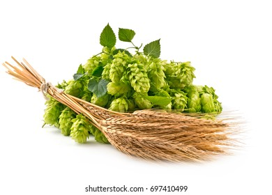 Hop Cones and Barley Isolated on the White Background.