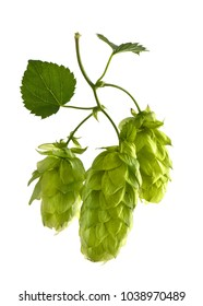 Hop Cones Isolated on the White Background.