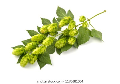 Hop cones isolated on the white background