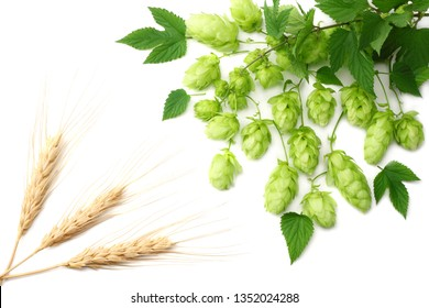 Hop cones isolated on white background. Beer brewing ingredients. Beer brewery concept. Beer background. Top view