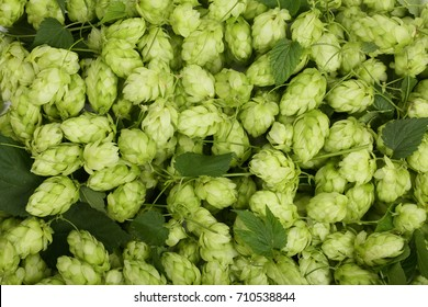 hop cones with leaf as a background close-up. Top view