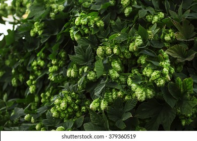 Hop cones on a bush, dark green blur natural background, selective soft focus