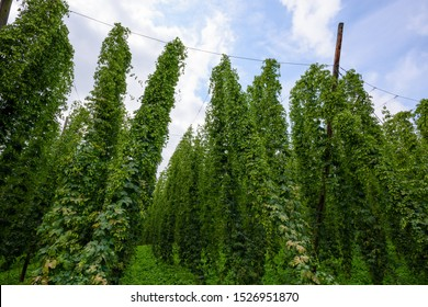 Hop farm field agriculural yard fully grown hops plant vines with cones ready for harvest.