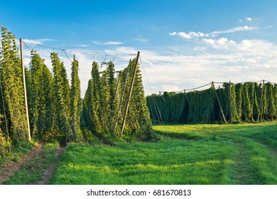 Hop field before sundown, Czech Republic