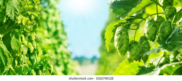 hop field, blue sky and Sun, banner