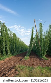 Hop field in Czech Republic before harvest.