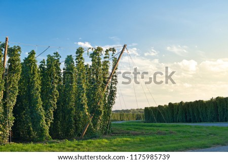 Hop field in Zatec hop area before sunset