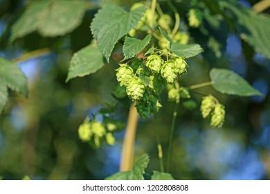 Hop field.Green hop cones.