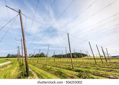 Hop fields in Bavaria, Germany