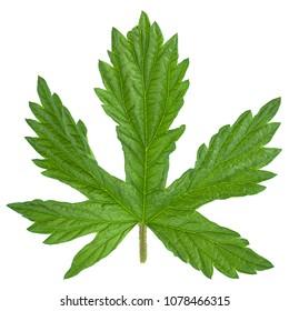 Hop plant closeup leaf isolated on white background