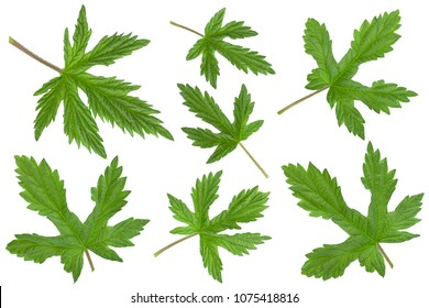 Hop plant closeup leaf set isolated on white background