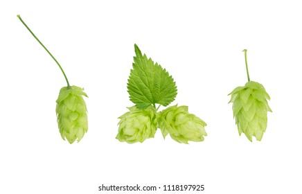 Hop plant  set on white background. Nature element design. Hop plant  with leaf closeup