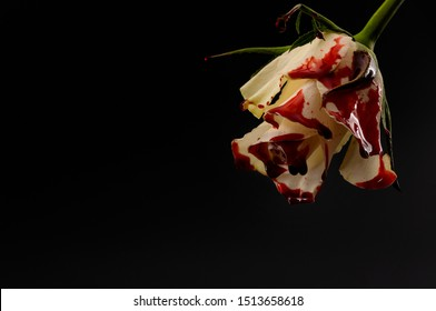 Hopelessness,Innocence lost through tragedy, grief and mourning of a early loss conceptual idea with bleeding white rose with drops of blood dripping isolated on black background