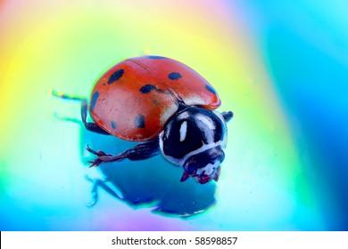 Hoppodamia Convergens - LadyBug