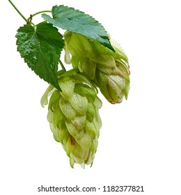Hops buds for beer making ripe fresh with green leaves ready to harvest isolated on white