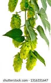 Hops cones isolated on the white background
