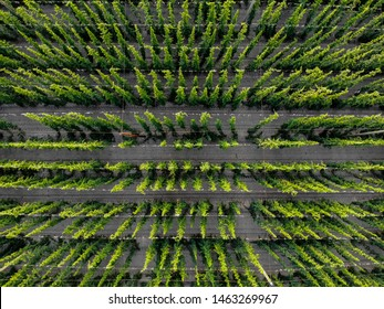 Hops field, Saaz hops, view from drone