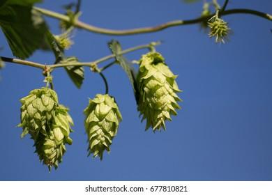 Hops growing on vine.