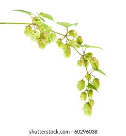 hops (Humulus lupulus) branch isolated on white background;