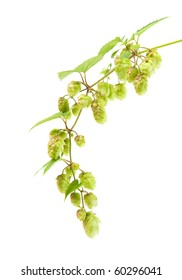 hops (Humulus lupulus) branch isolated on white background