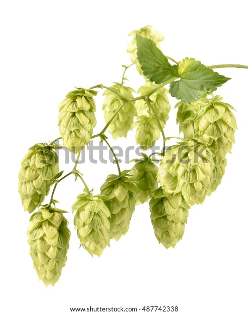 Hops (Humulus lupulus) branch isolated on white  background.