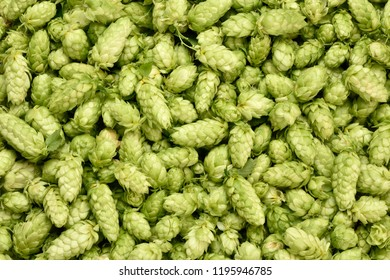 Hops (Humulus lupulus, SYBILLA) background. Fresh hoppy cones. Studio shot.