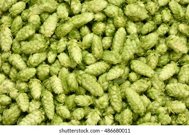 Hops (Humulus lupulus, SYBILLA) background. Fresh hoppy cones after harvest.