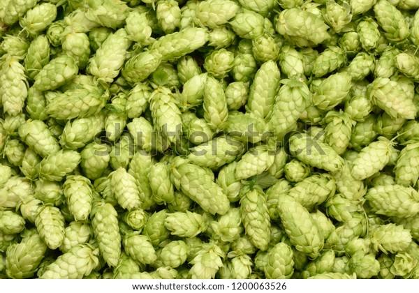 Hops (Humulus lupulus, SYBILLA) background. Fresh hoppy cones.