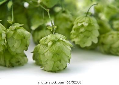 Hops ingredient of  beer