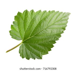hops leaf isolated on a white background