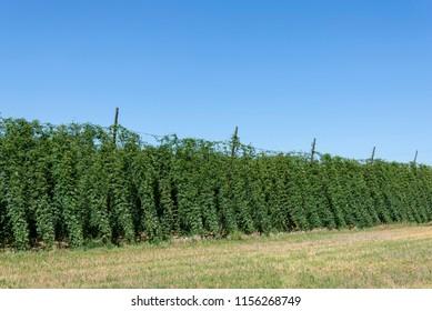 Hops plantation near Lublin in the summer