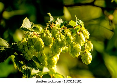 hops with ripe cones in summer