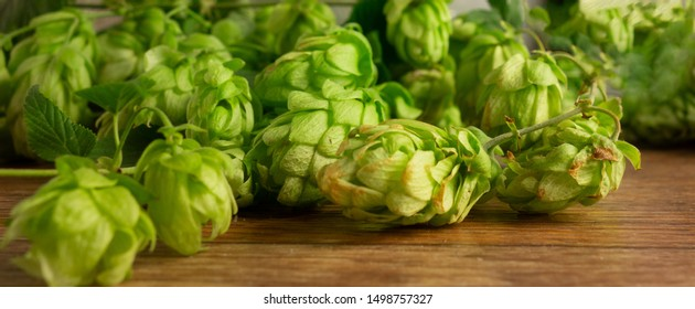Hops twining bines. Concept of beer brewing process. Green herbal panorama image with climbing strings, hop cones and catkins. Traditional craft ingredient for brewery