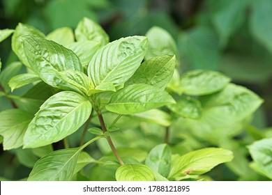 Horapha(Thai: โหระพา), Thai Basil (Ocimum basilicum) grow in the herb garden. Thai Basil is widely used throughout Southeast Asia.
