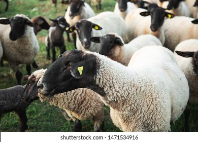 Horde of Suffolk Sheep on Countryside Summertime