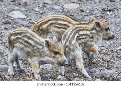 horde young wild boar