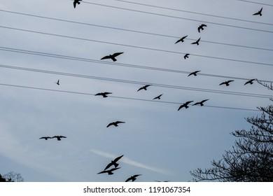Hordes of pigeons