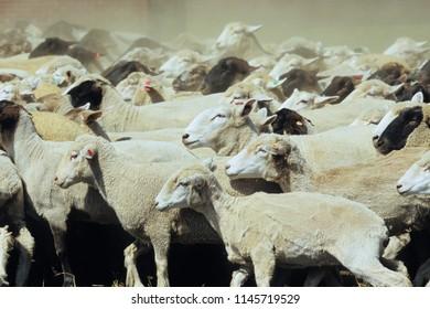 Hordes of sheep